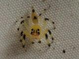 Yellow amycine jumping spider! Impressive...