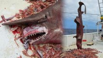Rare Goblin Shark Caught Off Florida Coast