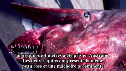 Des pêcheurs prennent un requin-lutin dans leurs filets