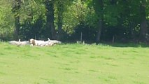 Une vache attaquée par des vautours dans le Bearn