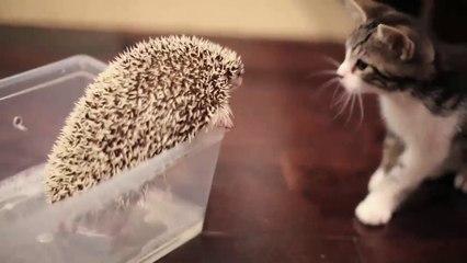 L'incredibile curiosità di un gattino alla scoperta di un piccolo riccio di terra