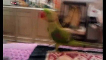 Un pappagallo che miagola ad un gatto