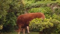 Une vache et son veau échappés dans mon jardin