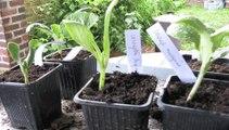 Jardinage: comment prendre soin des semis de courges jusqu'à leur plantation
