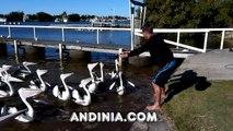 Pelicanos graciosos - Funny pelicans - Pelicanos engracado - Pélicans drôles