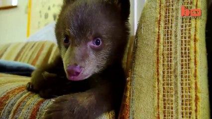 Un adorabile cucciolo di orso orfano accudito dopo la perdita della madre