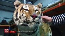 Le tigre, menacé par le trafic, mobilise Interpol