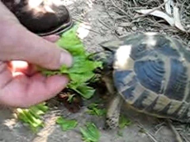 repas-tortue