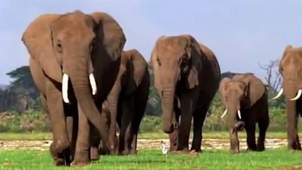 Secret Lives of the African Elephants