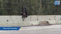 Une maman ours sauve son bébé tombé sur la route