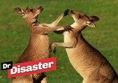 Un Kangourou tente d'étouffer un autre kangourou / Dr Disaster