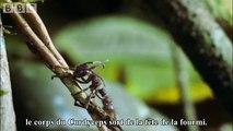 Des champignons parasites transforment des fourmis en zombies