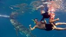 Nager avec des requins baleine aux Philippines