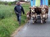 Attelage de deux vaches avec leurs deux veaux avecThomas Carabistouille et Laurent Legal