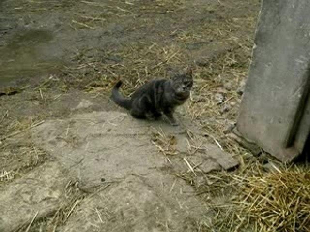 miaou le chat
