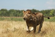 Lions DEADLY ATTACK in AFRICA - Lions fighting to death