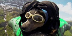 Worlds First Wingsuit BASE Jumping Dog !!