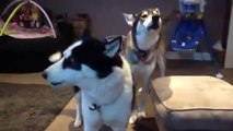 Siberian Husky Hilarious singing dogs, huskies howling, dog sings to harmonica