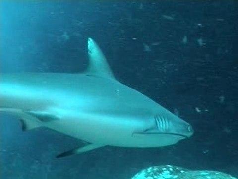 Requin-de-face-ile-maurice vidéo