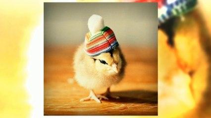 Şapkalı civcivler