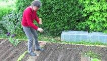 Jardinage: le semis en ligne des haricots beurre