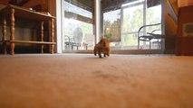 Animal le plus mignon du monde : un bébé chien de prairie qui joue avec un chat!