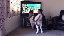 Chien veut attaquer un ours à la télévision