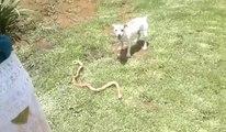 Jack Russel Terrier Vs Deadly Cape Cobra Snake