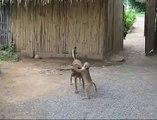 Yaramaz Maymun ve Köpek Dostluğu :)