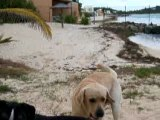 Mon chien ! El Niño Labrador