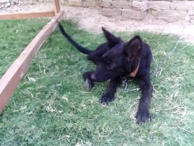 black german shefphered puppy