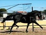 Caballo pre Yeguada Nieto andalusian horse