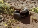 Snake Killers - Honey Badgers Of The Kalahari