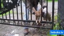 geyik yavrusunu sıkıştığı yerden kurtaran süper adam - (anne geyik adeta teşekkür ediyor)