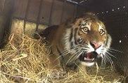 3 tigres de Sibérie relâchés dans la nature