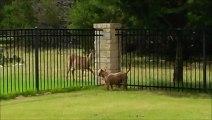 Un chien et un cerf jouent ensemble comme des petits fous!