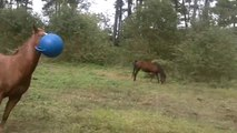 So funny young horse playing with ball! Are your a horse or a dog??
