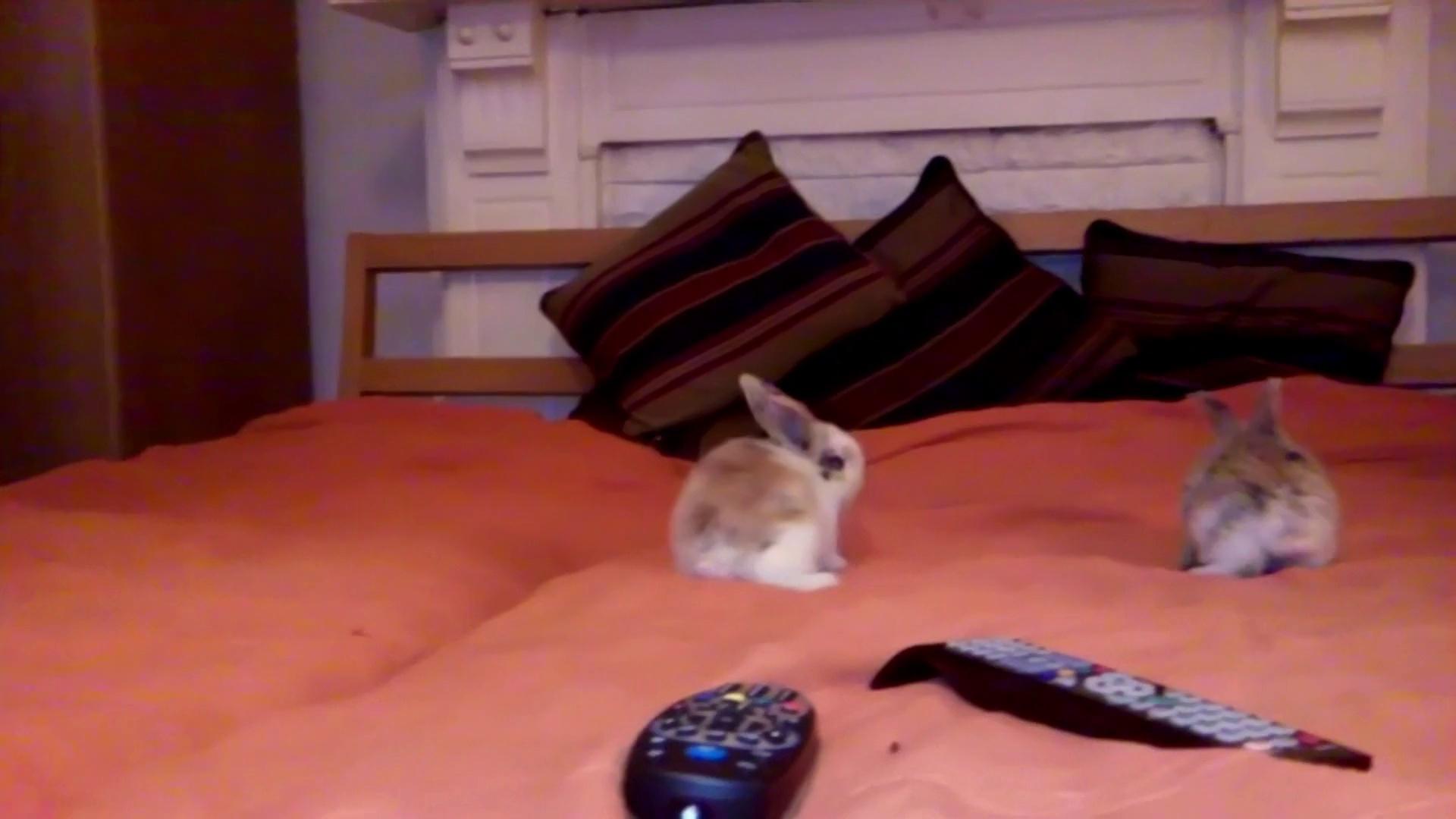 Cute Dwarf Rabbits Hop Around on Bed