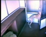 Smart Dog Escapes Cage And Frees Rest Of Dogs In Dog Kennel