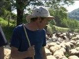 Des sols arides à l'herbe fraîche : grande transhumance dans le Cantal - 14/06