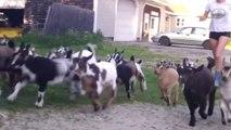 Des bébés chèvres adorable à la ferme! Trop mignon.