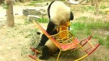 Des PANDAS trop mignons qui tombent - Compil de Fails de pandas