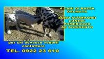 Smarriti cani razza Dalmata ad Agrigento 20-06-2014 AgrigentoTv