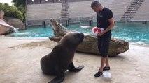 Watson, l'otarie vedette du zoo d'Amnéville, pronostique la victoire de la France contre la Suisse au Mondial 2014.