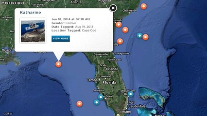Wanna Track Some Great White Sharks On Ocearch.org?