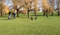 Black Swans Attack Golfer - Black Swans Vs Golfer