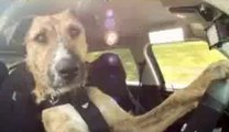 Latest Funny Dailymotion Animals Videos-Meet Smart Porter-The Worl'ds 1st Driving Dog Creature-ahead from the others of the same species