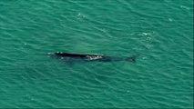 Une baleine s'approche tout près des plages de Sydney