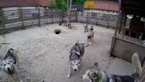 Vivre avec 17 Husky - Moment magique avec des chiens magnifiques... GoPro