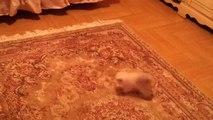 Un petit chat effrayé par le tapis... Trop mignon!